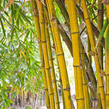 bamboo-forest5