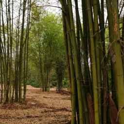 Fraicheur et ombre des bambous