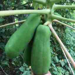Les premieres papayes
